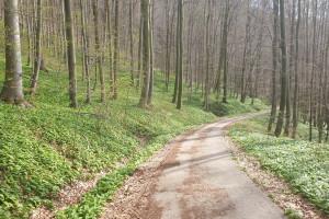 Bärlauch Feld - Wegpunkt 13 entlang der Tour